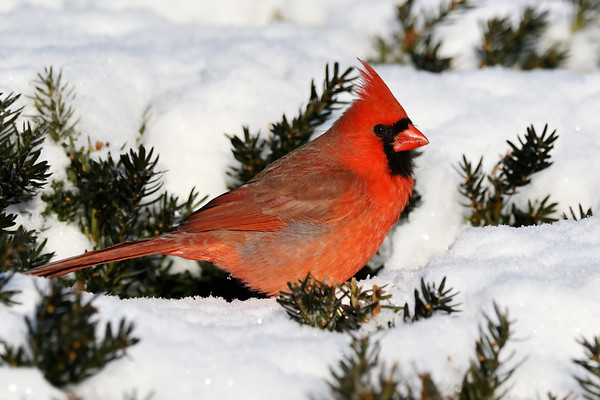 March 3 2019 - Male Northern Cardinal