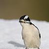 March 21 2019 - Downy Woodpecker