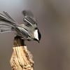 March 30 2019 - Chickadee