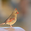 March 23 2019 - Northern Cardinal