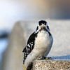March 13 2019 - Downy Woodpecker
