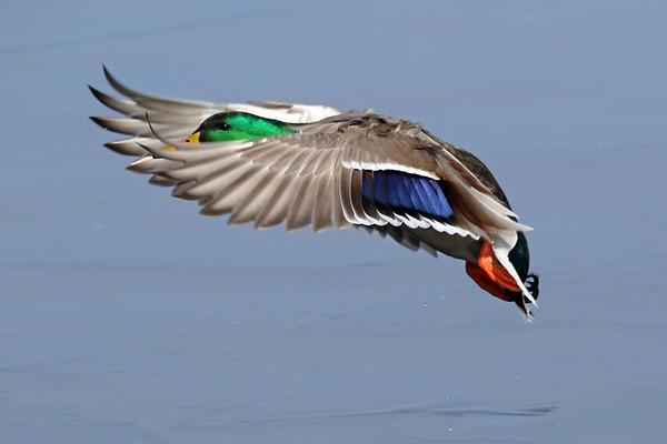 March 18 2019 - Mallard Duck