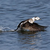 March 22 2019 - Long Tailed Duck