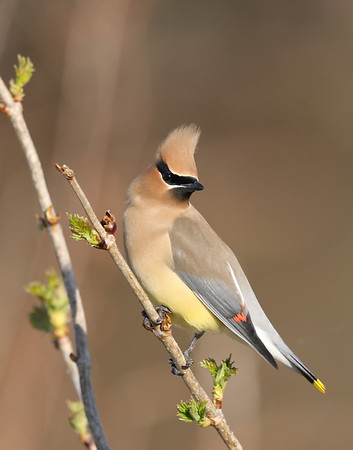 May 7 2019 - Waxwing