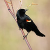 May 13 2019 - Red Winged Blackbird