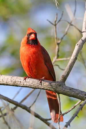 May 25 2019 - Male Cardinal