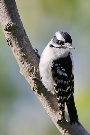 May 31 2019 - Downy Woodpecker