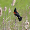 May 9 2019 - Red Winged Blackbird