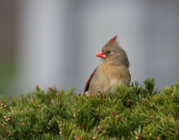 May 2 2019 - Female Cardinal