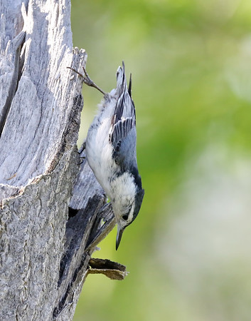 May 30 2019 - Nuthatch