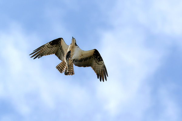 May 17 2019 - Osprey with Fish