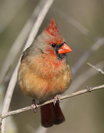 November 14 2019 - Female Northern Cardinal