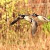 November 1 2019 - Canada Geese