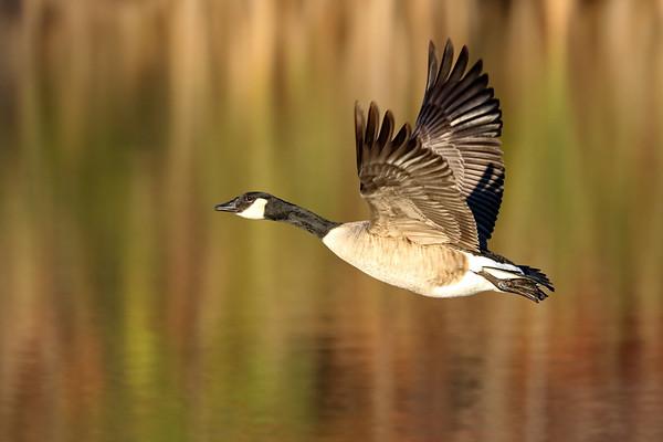 November 12 2019 - Canada Goose