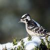 November 20 2019 - Downy Woodpecker