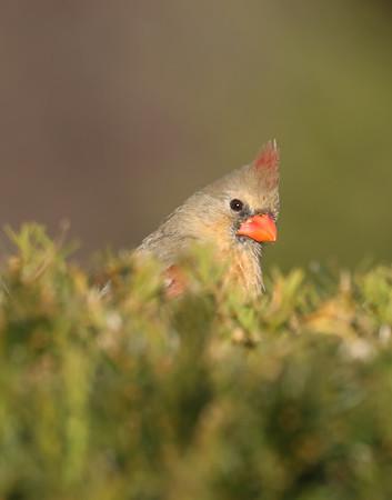 November 4 2019 - Female Northern Cardinal