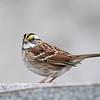 November 23 2019 - White Throated Sparrow