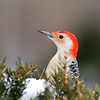 November 17 2019 - Red Bellied Woodpecker