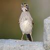 November 28 2019 - White Throated Sparrow