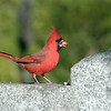 November 27 2019 - Northern Cardinal