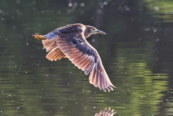 November 5 2019 - Night Heron