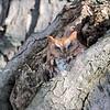 November 22 2019 - Screech Owl