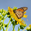 November 6 2019 - Monarch Butterfly