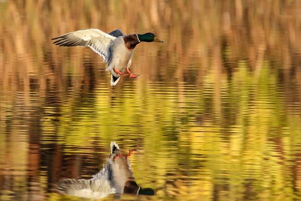 October 30 2019 - Mallard Duck