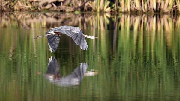 October 25 2019 - Great Blue Heron