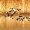 October 24 2019 - Canada Geese