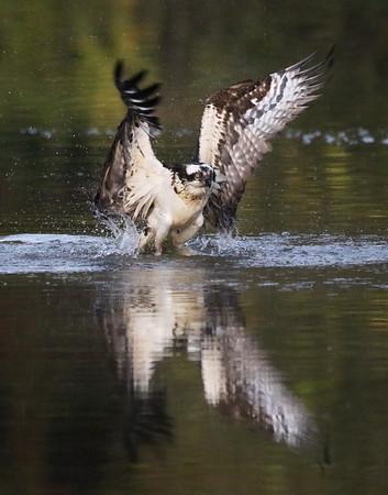 October 21 2019 - Osprey