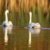 October 19 2019 - Sunrise Swans
