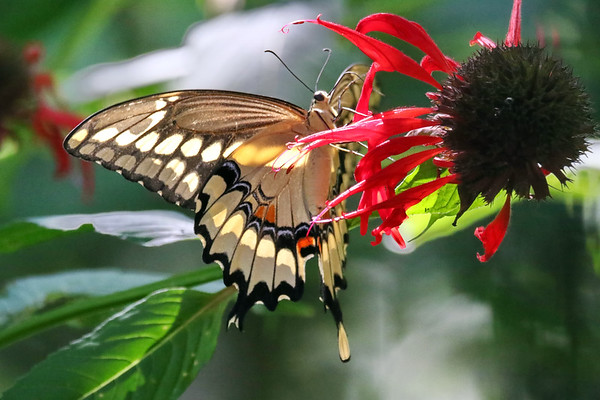 October 16 2019 - Swallowtail Butterfly