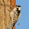 October 12 2019 - Downy Woodpecker