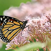 October 4 2019 - Monarch Butterfly
