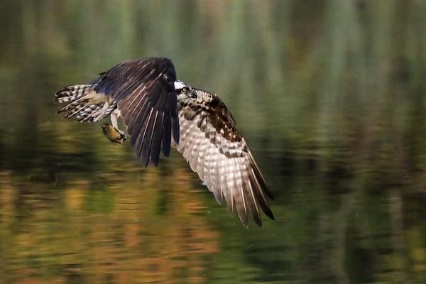 October 10 2019 - Osprey