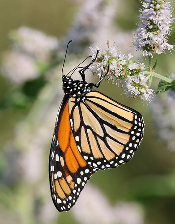 October 22 2019 - Monarch Butterfly