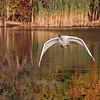 October 15 2019 - Trumpeter Swan