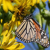 October 7 2019 - Monarch Butterfly