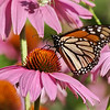 October 26 2019 - Monarch Butterfly