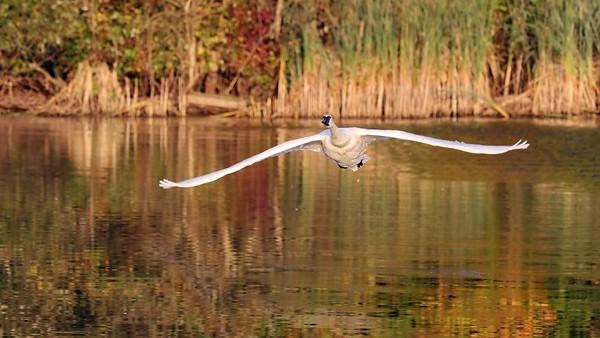 October 23 2019 - Swan