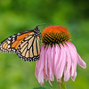 October 31 2019 - Monarch Butterfly