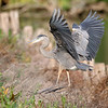 October 28 2019 - Great Blue Heron