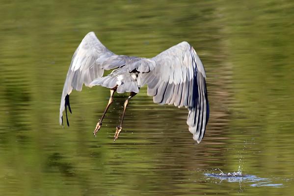 October 8 2019 - Great Blue Heron