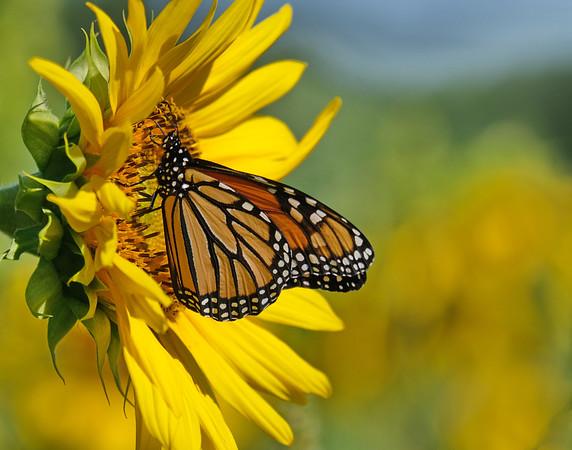 September 6 2019 - Monarch Butterfly