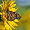September 6 2019 - Monarch Butterfly