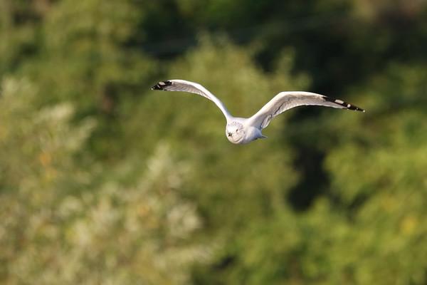 September 22 2019 - Ring-Billed Gull
