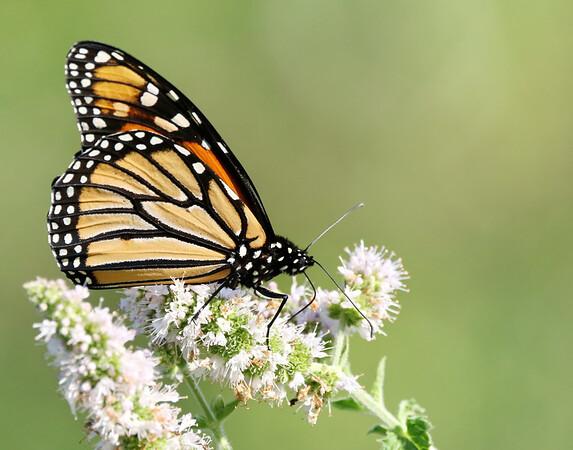 September 17 2019 - Monarch Butterfly