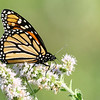 September 17 2019 - Monarch Butterfly