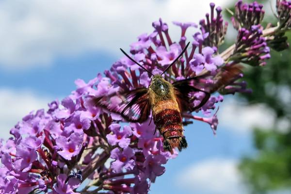 September 8 2019 - Hummingbird Moth